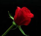red-rose-7