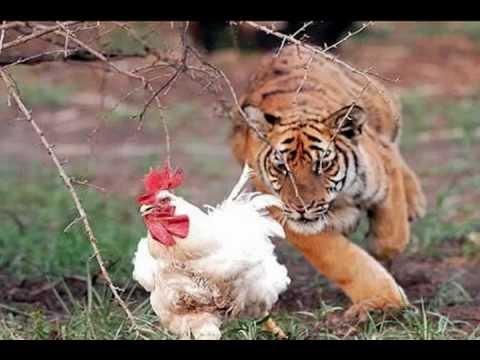 Chicken Lion