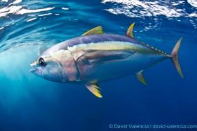 Flailing Tuna