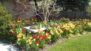 Tulips all around.