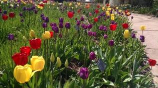 Plenty O'tulips.