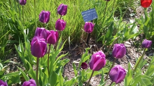 My favorite color and favorite tulip.
