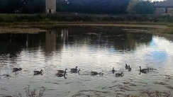 I've enjoyed hearing the honks of geese preparing to head south.