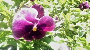 I will love pansies forever.