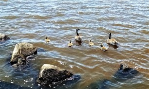 The babies were out. Baby geese and ducks. We also saw gulls, terns and pelicans. (Yes, we have pelicans in Wisconsin.)