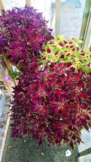 Burgundy and green Coleus